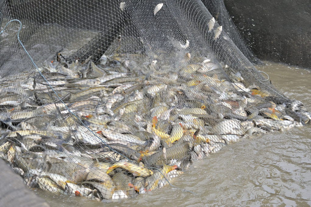 Unsorted Fish in a fishing nets
