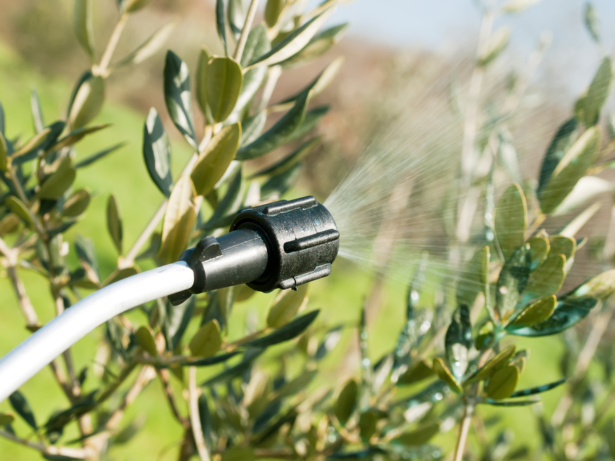 spraying olive trees in winter time