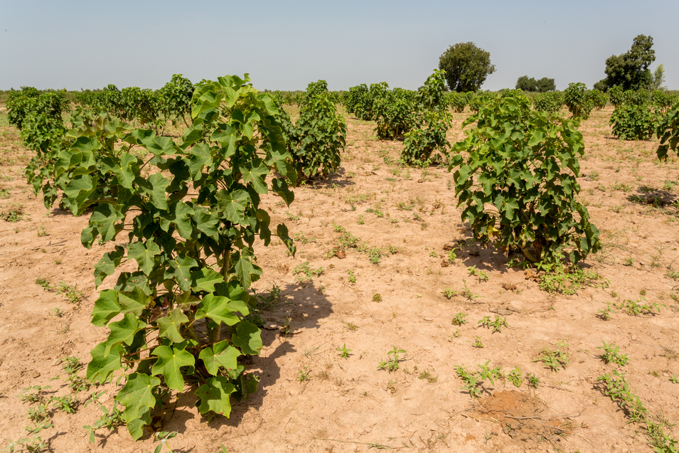 Jatropha plants in their early stage of grown planted in the arid lands of West Africa